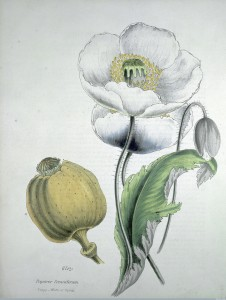 "L0004686 Opium poppy (Papaver somniferum): white flowers, seed Credit: Wellcome Library, London. Wellcome Images images@wellcome.ac.uk http://wellcomeimages.org ""Papaver somniferum. Poppy-white or opium"" Coloured Print 1853 By: M. A. Burnettafter: Gilbert T. BurnettPublished: [1853] Copyrighted work available under Creative Commons Attribution only licence CC BY 4.0 http://creativecommons.org/licenses/by/4.0/"